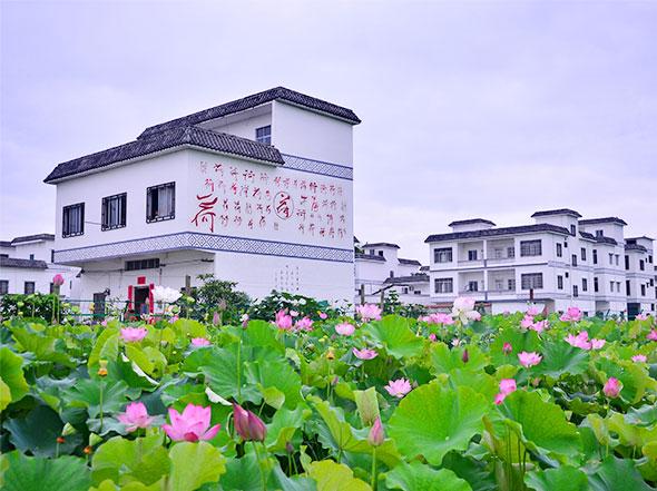 覃塘莲藕种植